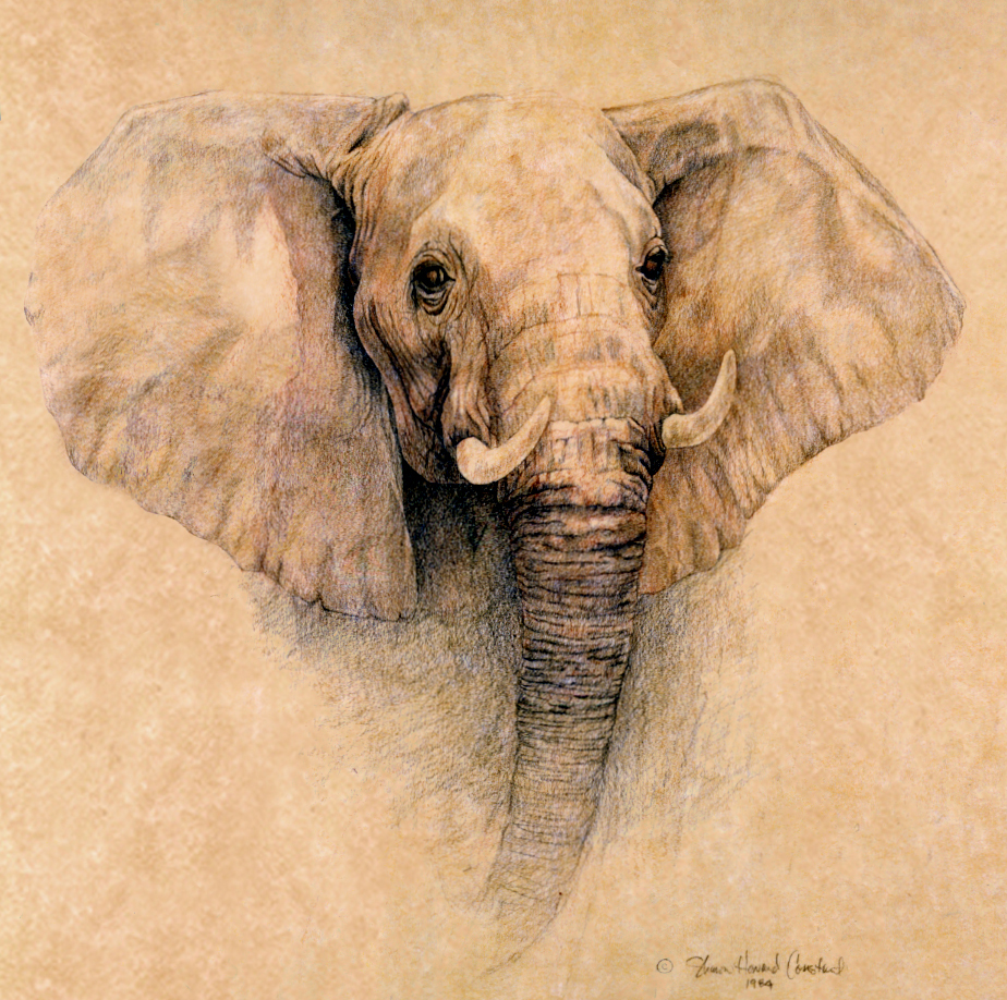 Pics For > African Elephant Drawings