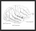 Pencil drawing of the lateral view of the brain